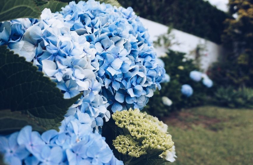 Flower Nature Hydrangea Beauty In Nature Petal Fragility Growth Day Freshness Plant No People Blue Focus On Foreground Flower Head Close-up Hyacinth Blooming