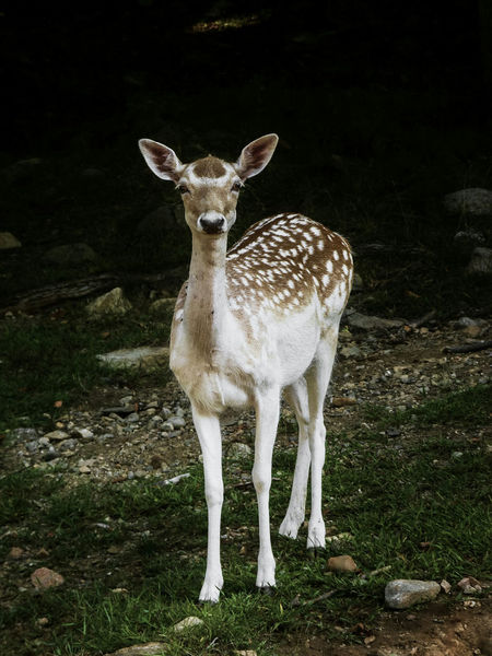 Fawn Animal Themes Light And Shadow One Animal Animals In The Wild Nature Mammal Young Animal Animal Wildlife Deer Eye4photography  Animals In The Forest EyeEm Nature Lover EyeEm Best Shots Nature Getting Inspired Light And Shadows Beauty In Nature