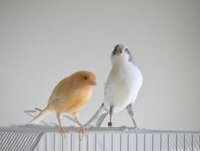 Cutest little canary birds ever! Sunflower and Moon Shadow Domestic Life Adorable Pets Bird Birds Birds Out Of Cage Birdys Canaries Canary Cute Finches Free The Birds Friends ❤ Friendship Indoors  Little Love ♥ Pair Of Birds Pets Playing Popular Small Songbirds Togetherness White Your Wings Are Ready