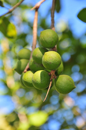 Macadamia Nuts Beauty In Nature Branch Close-up Day Focus On Foreground Food Food And Drink Freshness Fruit Green Color Growth Leaf Low Angle View Macadamia Nuts Nature No People Outdoors Tree Unripe