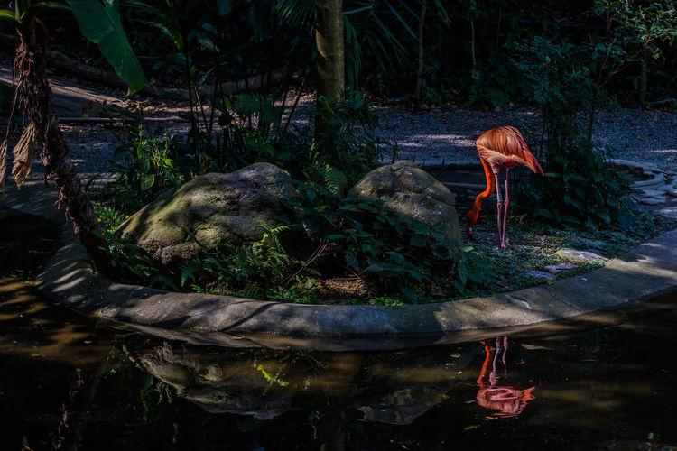 Flamingo in