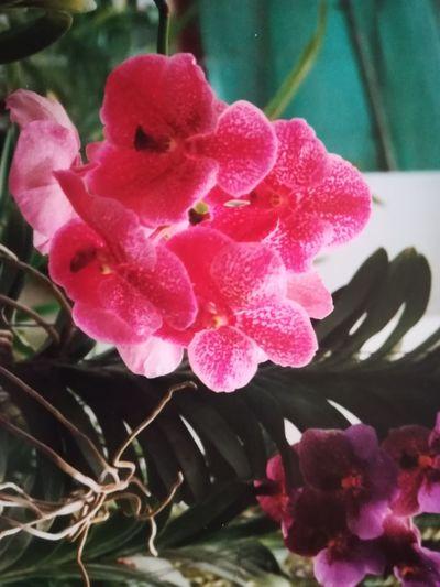 Orichidee Sri Lanka 🇱🇰 Flower Flower Head Water Pink Color Peony  Close-up Plant