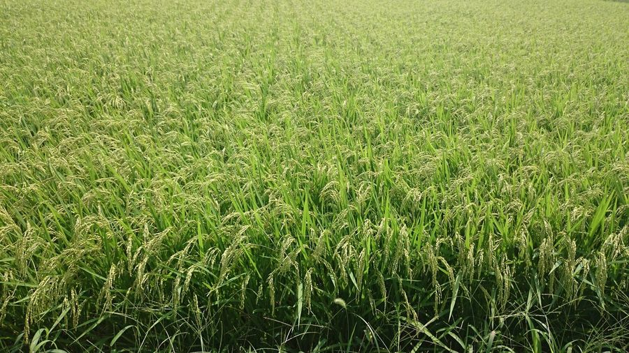 Rice Backgrounds Field Full Frame Green Color Growth Land Landscape Nature No People Outdoors Plant Rice Field