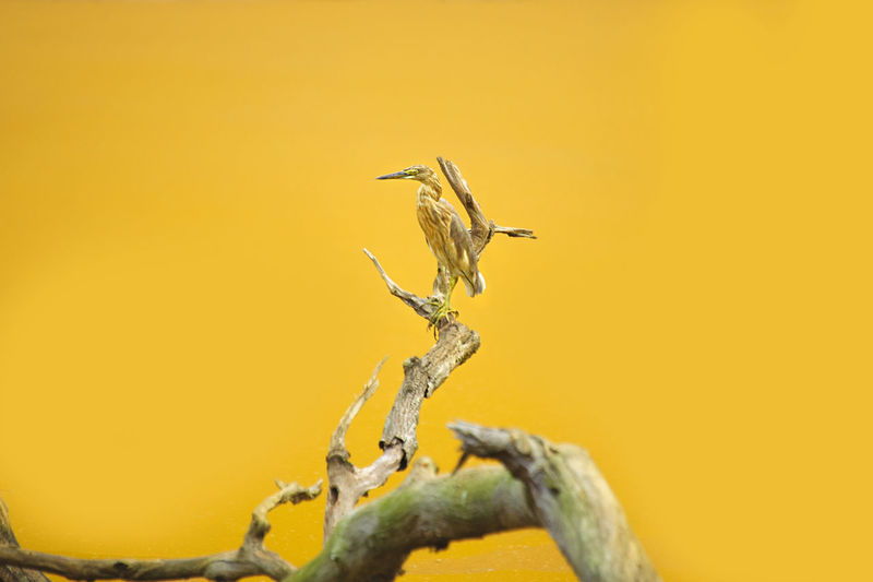 ARDEOLA BACCHUS on a branch with yellow lake at jakarta , indonesia ARDEOLA BACCHUS Beauty In Nature Close-up Day Detail Focus On Foreground Nature No People Orange Color Outdoors Tranquility Twig Wildlife Wildlife & Nature Yellow