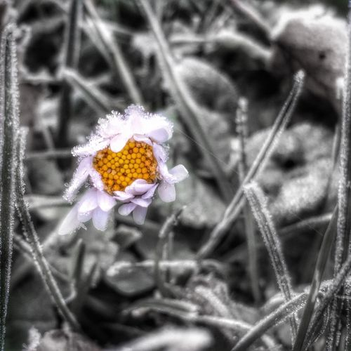 Frozen Beauty Fragility Flower Nature Freshness Plant Beauty In Nature Focus On Foreground Petal Blooming Flower Head Close-up Growth No People Day Outdoors Photography Vs. Depression EyeEm Best Shots Cold Temperature Ice Frozen Landscape_Collection EyeEm Nature Lover Feelings Beauty In Nature Color Splash The Great Outdoors - 2018 EyeEm Awards