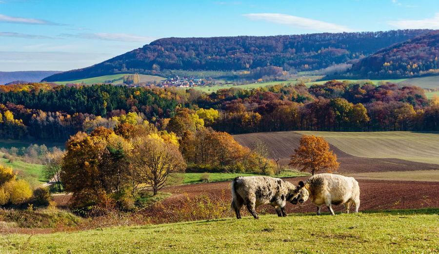Farmland Autumn Cows Day Domestic Animals Field Grazing Landscape Livestock Mammal Nature No People Outdoors
