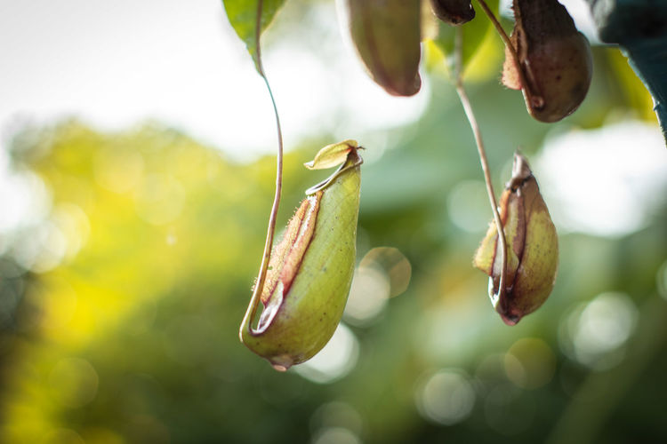 Nepenthes in