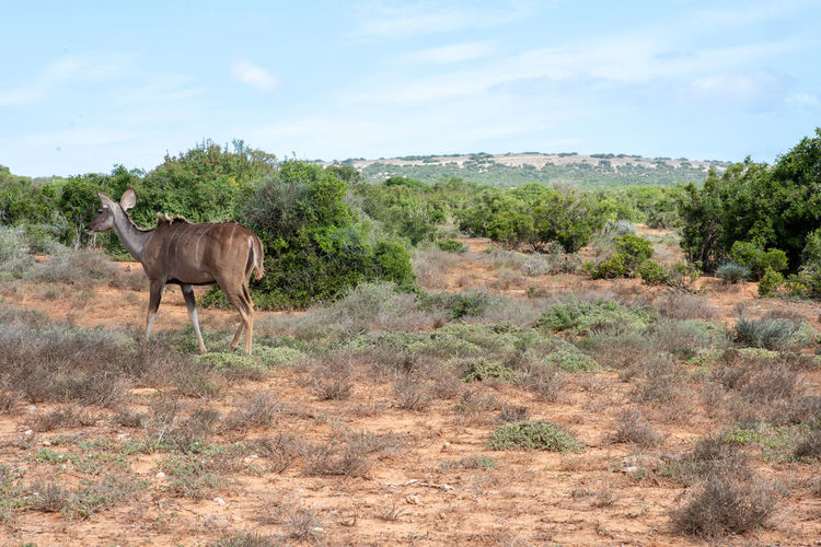 Eland Animal Animal Themes One Animal Mammal Animal Wildlife Environment Animals In The Wild Land Landscape Plant Sky Nature Vertebrate Day Field Non-urban Scene Standing Beauty In Nature Domestic Animals Scenics - Nature No People Herbivorous Outdoors Eland
