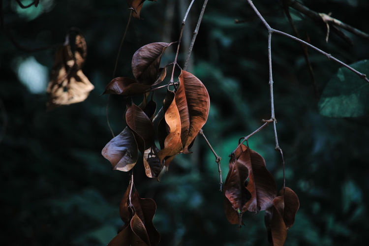 Close-up of dry leaves hanging on plant
