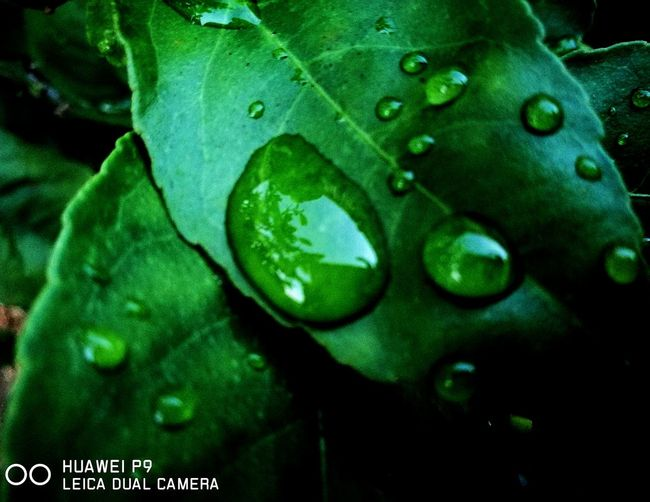 'Water droplets on lemon leaves' Green Color Close-up Nature Outdoors Macrophotography Close Up Nature Tree Water Drops Leaf Lemon Tree