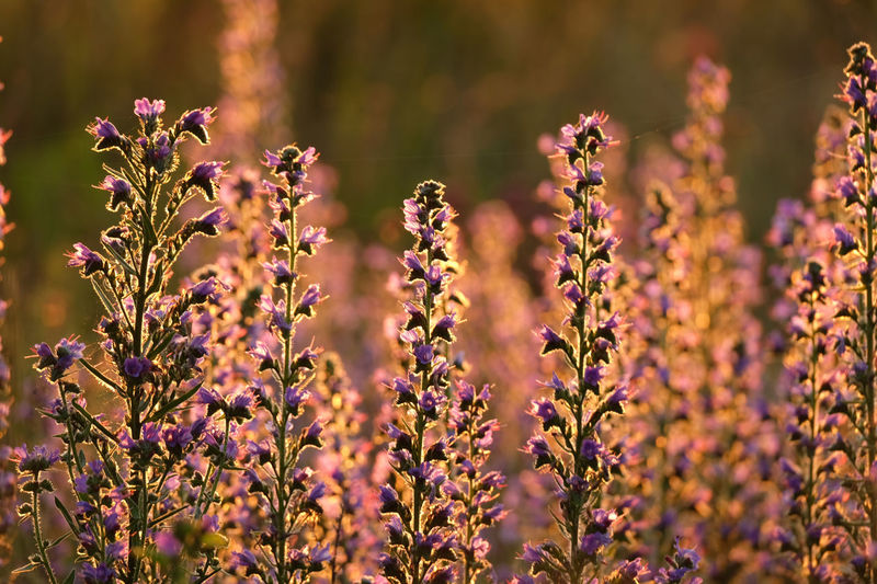 Blooming purple vipers bugloss with bokeh morning sunlight backli