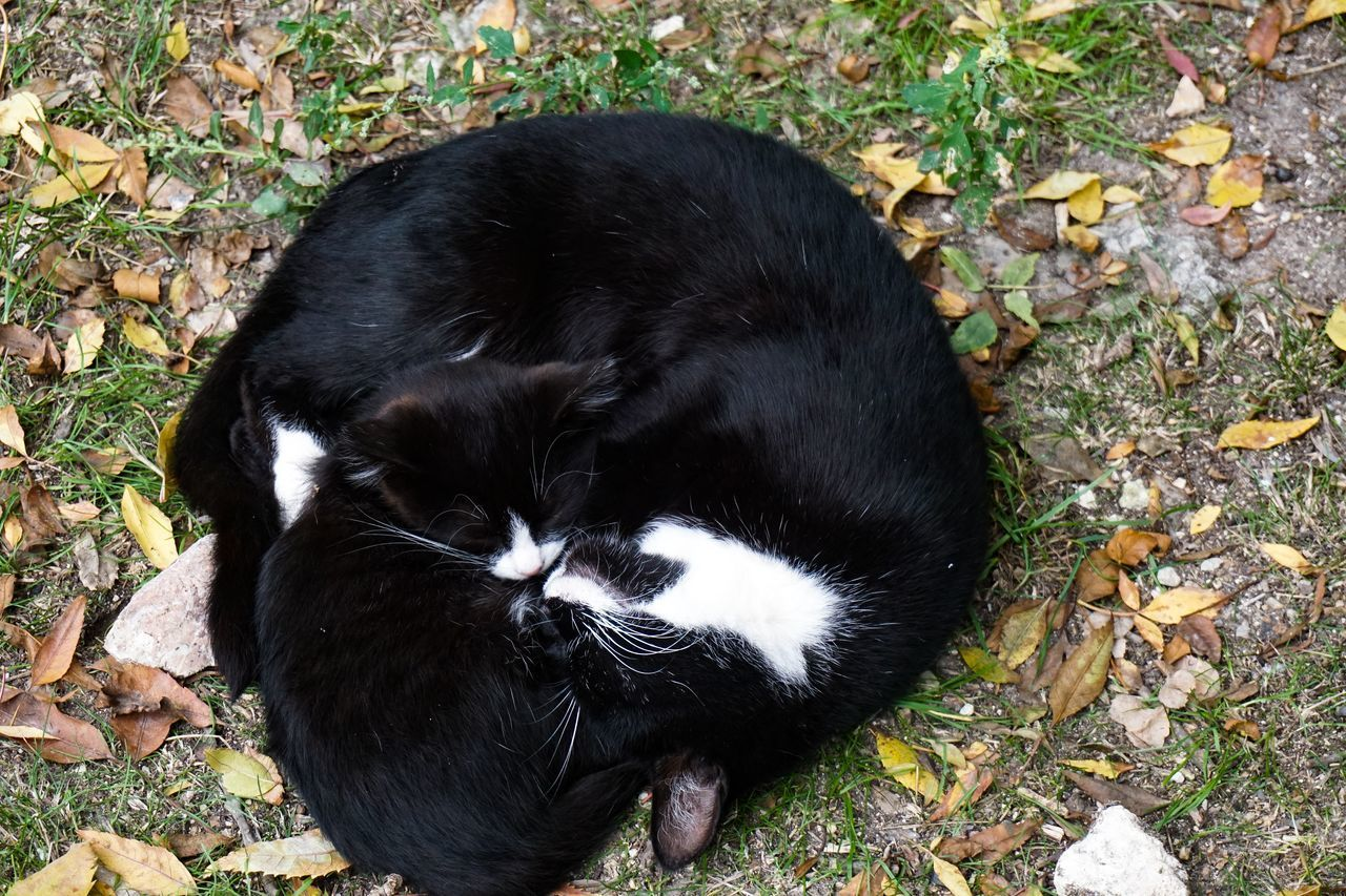 HIGH ANGLE VIEW OF BLACK CAT LYING ON FIELD