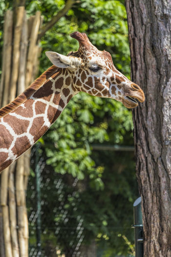 Reticulated giraffe Animal Animal Themes Animal Wildlife Animals Giraffe Giraffe Head Giraffe ♡ Giraffes Giraffe♥ Reticulated Giraffe Reticulated Giraffe, Relaxing Wildlife Wildlife & Nature Wildlife Photography Zoo Zoo Animals  Zoo Photography  ZOO-PHOTO Zooanimals ZooLife Zoology Zoophotography