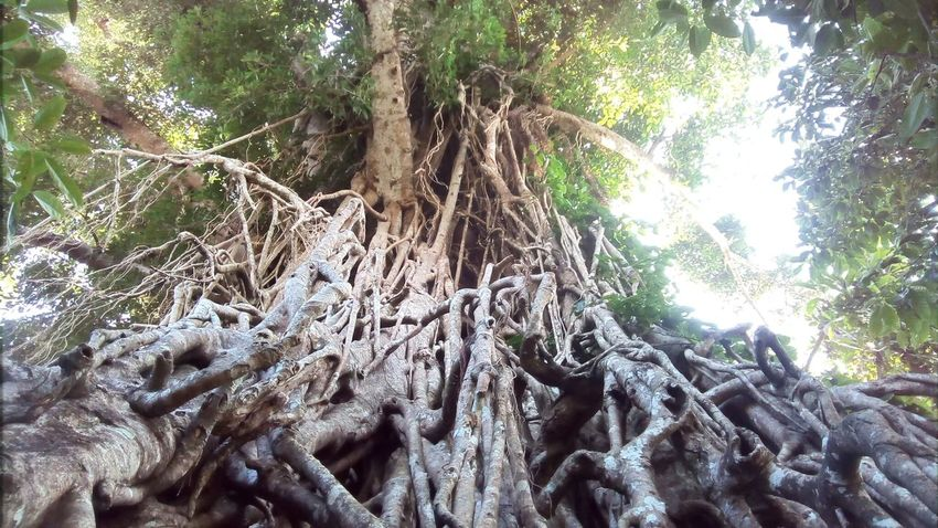 The oldest tree in the Philippines. Tree Outdoors Nature Low Angle View Growth Branch Close-up Beauty In Nature Mobilephotography Mobilephotographyphilippines Eyeem Philippines Philippines Perspectives On Nature The Great Outdoors - 2018 EyeEm Awards The Traveler - 2018 EyeEm Awards