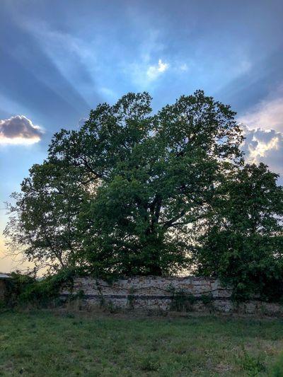 Plant Sky Tree