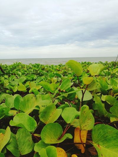 Growth Plant Nature Green Color No People Outdoors Freshness Close-up Day Beauty In Nature Sky Goat's Foot Creeper Beach Morning Glory Beach Sea Plants Fresh Wild Nature No Pollution Fresh And Clean Landscape Clear Sky Sand And Sea Sea And Plant Plant On Sand