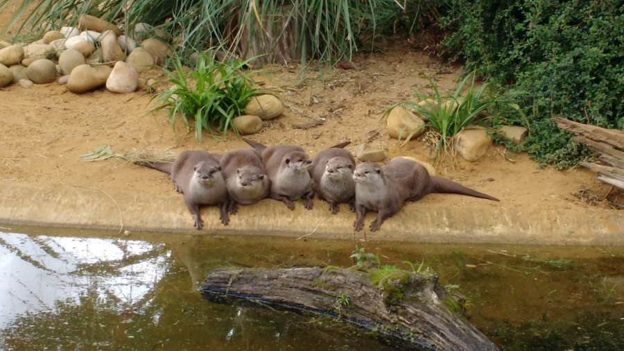 Otters 5 Quintet 5 Animals Moss Reflection Whipsnade Zoo Otter Togetherness Unity Beige Grey Green Color Bushes Plant Log Water Friendship England Great Britain Animals Zoo Water Animal Themes Nature Animal Wildlife No People Outdoors Day Mammal