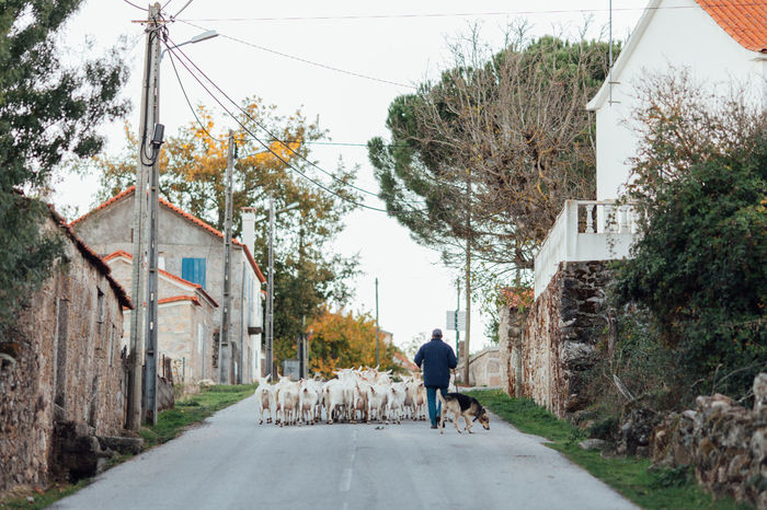 Goat Goats Domestic Animals Full Length Goat Life Goatfarm Goatrip Goats Life Goats On The Farm Grazier Lifestyles Nature Real People Rear View Road Road Sign Sheperd Sheperd Live The Way Forward Transportation Walking An Eye For Travel Modern Workplace Culture