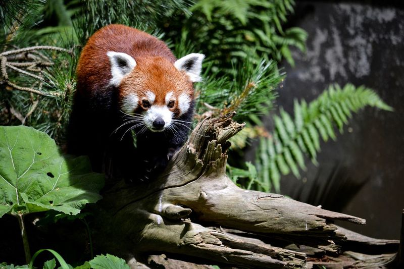 Close-up of red panda on tree