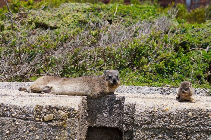 Stony Point near Cape Town, South Africa Tiere Animal Animal Themes Animal Wildlife Animals In The Wild Dassie Day Klippschliefer Lying Down Mammal Nature No People Otter Outdoors Rock - Object