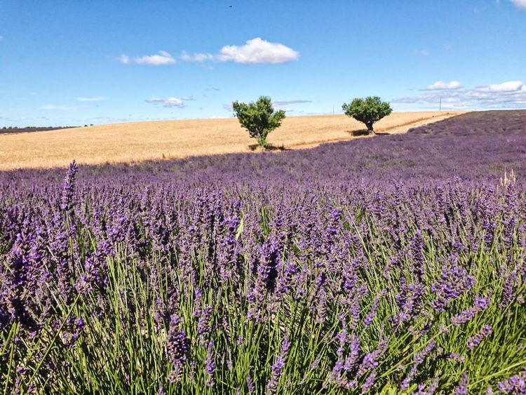 Purple Beauty In Nature Nature Flower Lavender Lavender Colored Landscape Scenics Cloud - Sky Rural Scene Sky Outdoors Plant Agriculture Provence Lavenderflower Lavender Field Landscape_photography EyeEmNewHere
