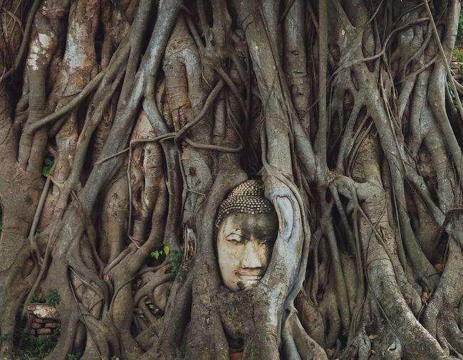 The statue of buddha's head inside the banyan tree