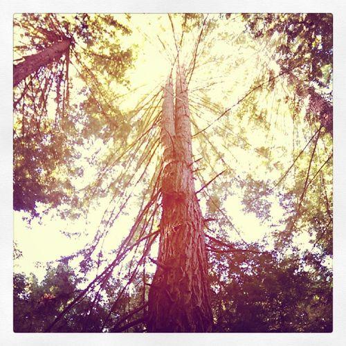 Coastal redwoods! Oldgrowth Sundayhike Majesticnature Iheartnorcal