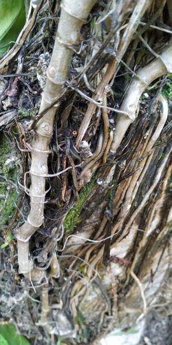 raices Tree