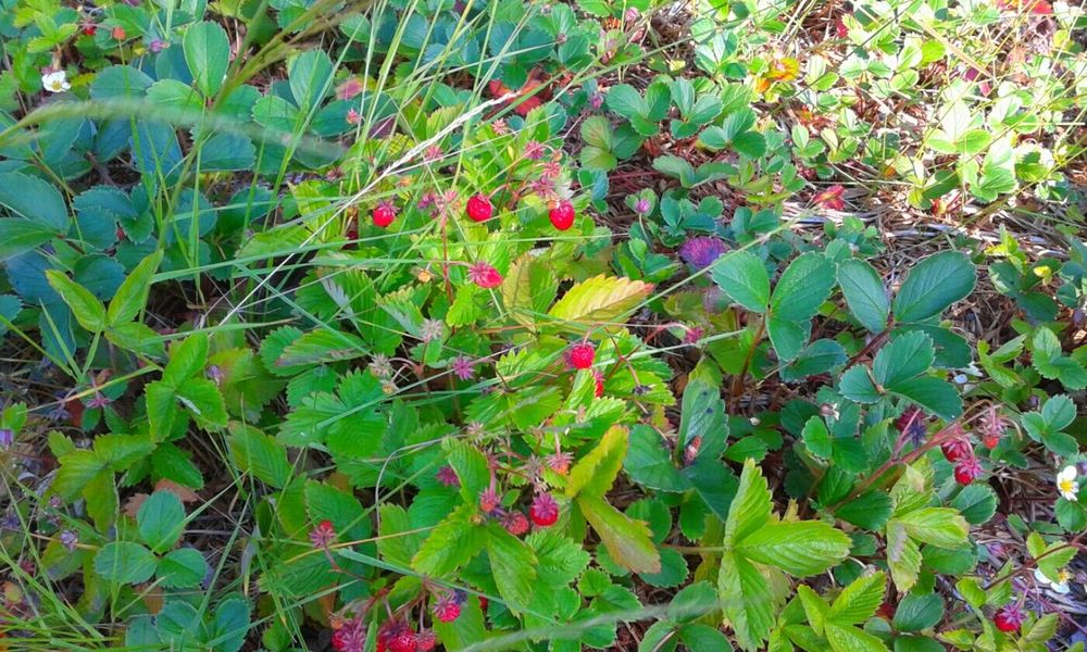 Taking Photos Walking Around EyeEm Nature Lover Nature_collection Natures Bounty Of Beauty And Love Wild Berries Strawberries Wild Strawberries Yum OpenEdit