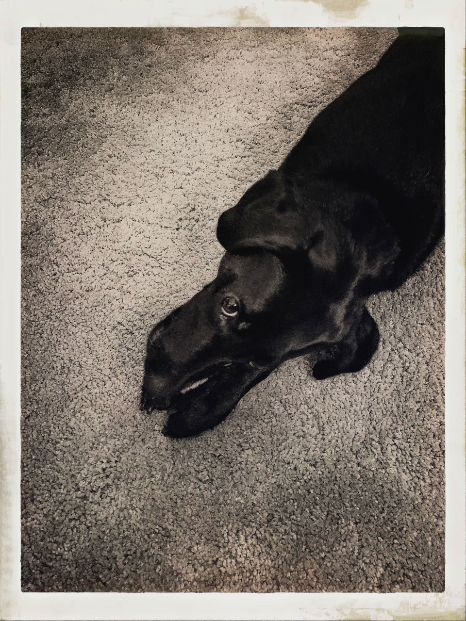 one animal, canine, dog, domestic, pets, animal themes, mammal, animal, domestic animals, vertebrate, transfer print, auto post production filter, high angle view, no people, relaxation, looking, day, looking away, indoors, close-up, animal head