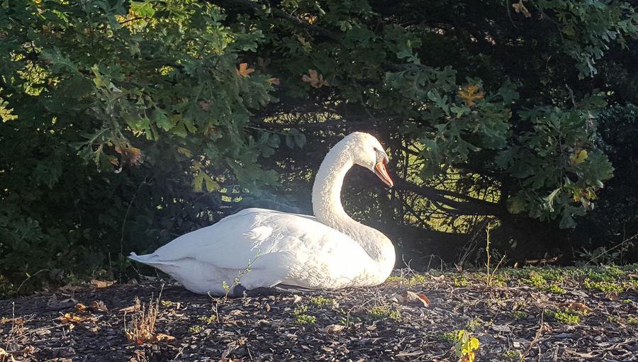 White swan on plant
