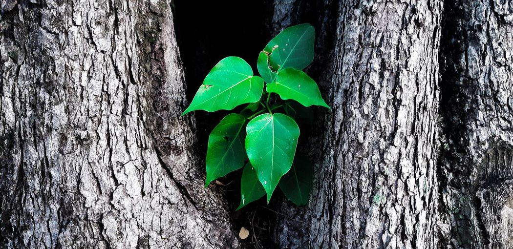 we can not choose where to born But choose to be Backgrounds Background Thailand ASIA Asian  Leaf Close-up Plant Green Color Ivy Creeper Plant Green Blooming