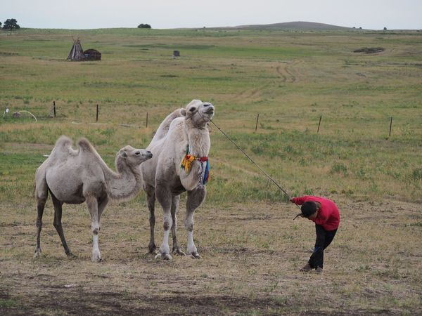 Bactrian Camel Baby Camel Inner Mongolia Grassland Camel Mother And Child Child Domestic Animals