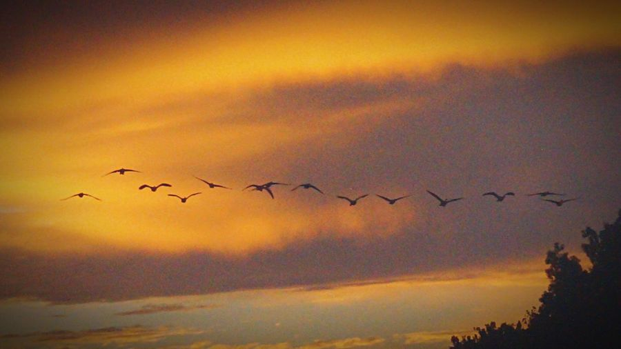 Flying Geese, Animal,nature, Flying Home 43 Golden Momets Sundown Roost Sundown On The James River Geese Photography God's Creation Peace At Sundown The Sounds Of Nature At The River Sundown On The James River Time To Roost Flying In Formation At Sundown Flying In Formation Perspectives On Nature