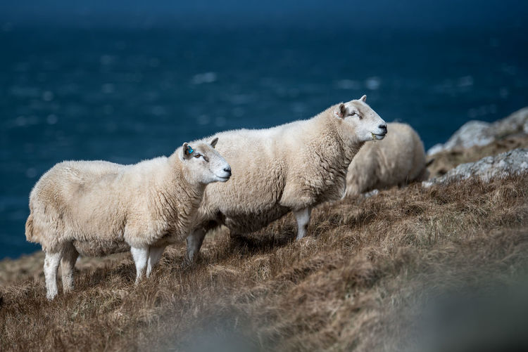 Animal Themes Animal Wildlife Animals In The Wild Livestock Mammal No People Scotland Scotlandsbeauty Sheep Sheeps Two Animals Uk