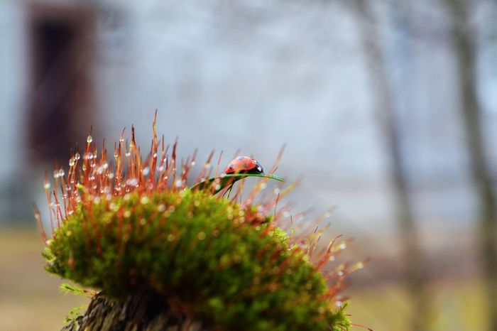 #Nature  #drops #insect #makrophotography #moss #photography Inner Power Ladybug