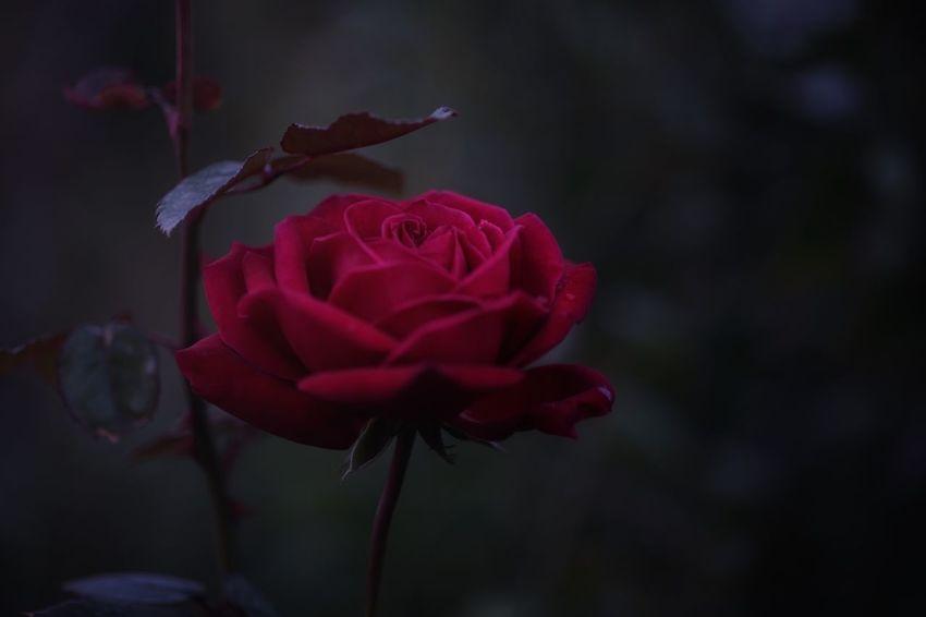 Test Of Time True Love Red Rose Roses Red Flower Flower Yokohama Yokohama English Garden SONY A7ii Micronikkor Micronikkor105mmf2.8 105mm Masako201710