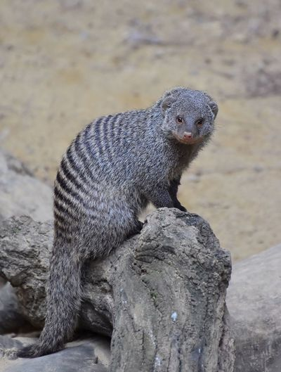Portrait Of Mongoose On Wood At Field