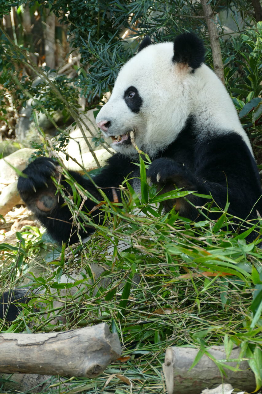 bear, giant panda, panda - animal, animals in the wild, one animal, mammal, panda, animal themes, wildlife, eating, no people, outdoors, bamboo - plant, plant, day, animal wildlife, grass, nature