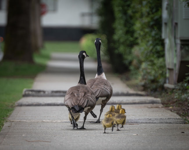 Animal Animal Family Animal Themes Animal Wildlife Animals In The Wild Bird Day Focus On Foreground Footpath Full Length Gosling Group Of Animals Nature No People Outdoors Plant Road Street Transportation Two Animals Vertebrate Walking Young Animal