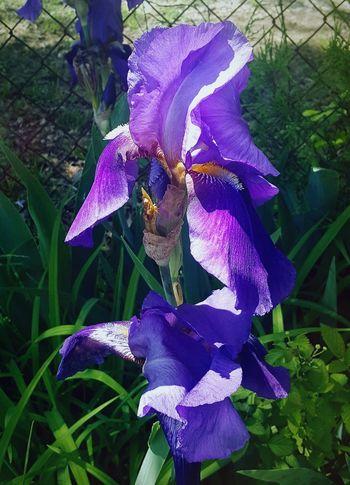 Spring Purple Iris Flower Iris - Plant Passion Flower Petal Leaf Plant Blooming
