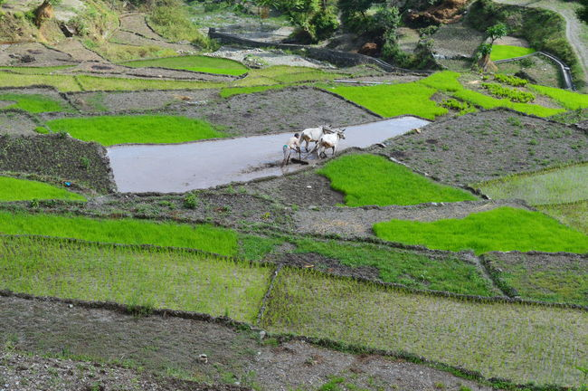 Beauty In Nature Diffrent Shades Of Gr Domestic Animals High Angle View Indian Farmer My Home Town Nature Nature On Your Doorstep Nature Photography Old Tradition Farming Paddy Field Raw Cultivation Real Uttrakhand Step Farming