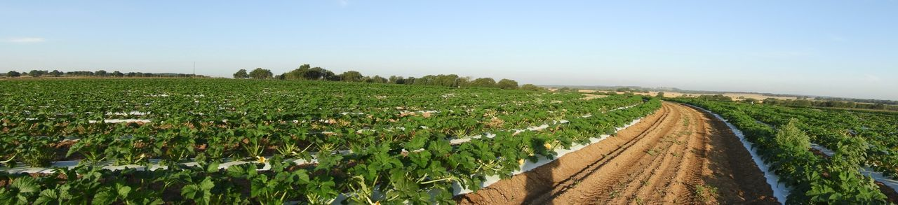 180 degree panorama of yellow squash field EyeEm Selects Field Agriculture Sky Growth Rural Scene Plant Crop  Environment Land Farm No People Day Clear Sky