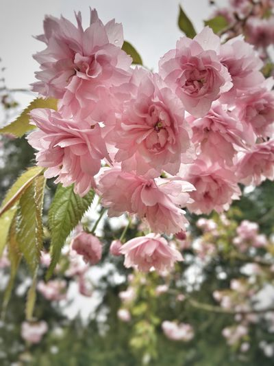 Flower Beauty In Nature Pink Color Fragility Nature Petal Growth Blossom Freshness Flower Head No People Springtime Close-up Tree Outdoors Blooming Backgrounds Cherry Blossom