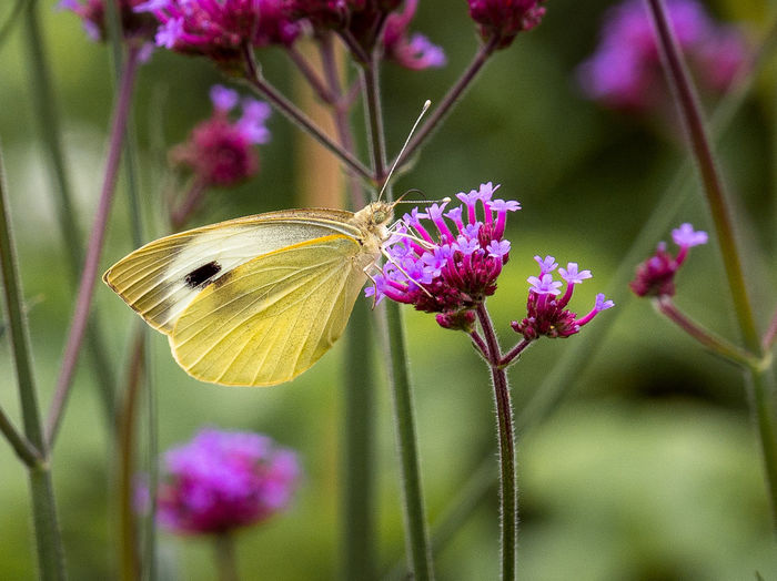 Animal Animal Themes Animal Wildlife Animal Wing Animals In The Wild Beauty In Nature Butterfly - Insect Close-up Flower Flower Head Flowering Plant Focus On Foreground Fragility Freshness Growth Insect Invertebrate No People One Animal Outdoors Petal Plant Pollination Purple Vulnerability