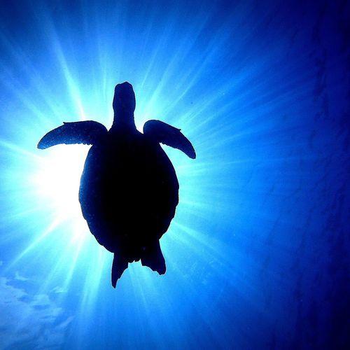 Okinawa Kerama Green Sea Turtle Ikelitehousing Sea And Sea Underwater Underwaterphotography Canonphotography Dive Diving Diver First Eyeem Photo
