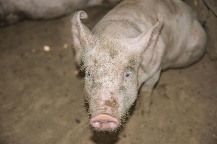 Farm Pork Animal Head Animals In The Wild Baby Pig Domestic Mammal Nature