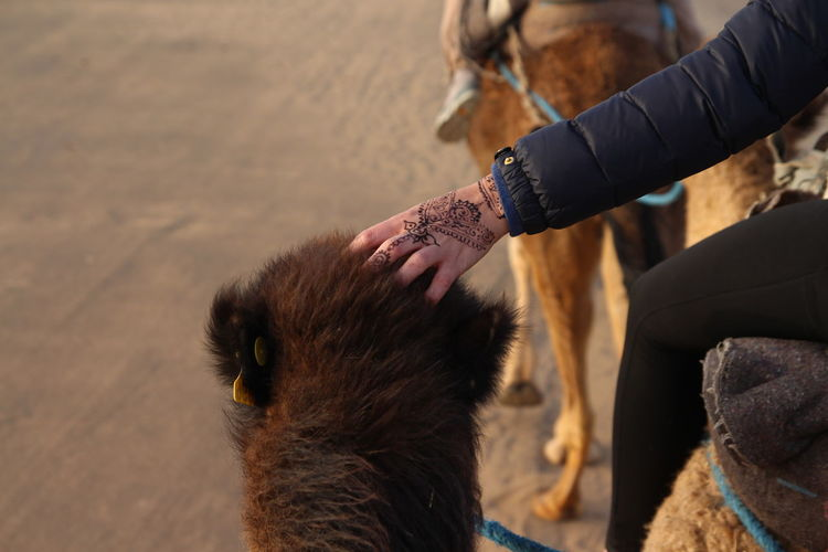 Hand touching a camel