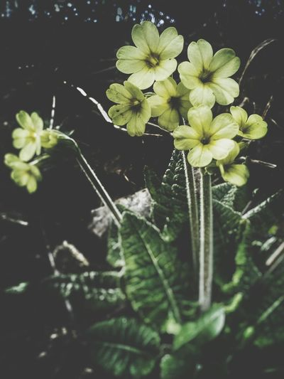 Primula Veris Spring Flowers Growing Plants In Forest Pastel Yellow Shiny Nature Nature Treasure