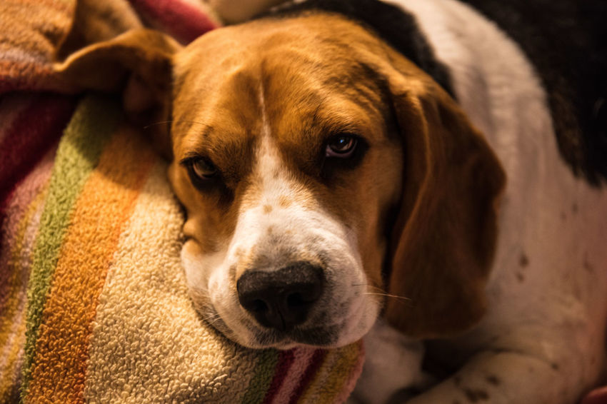 Dogs Beaglelife Beaglelove Beaglelovers Beagleoftheday Beaglepuppy Beagles